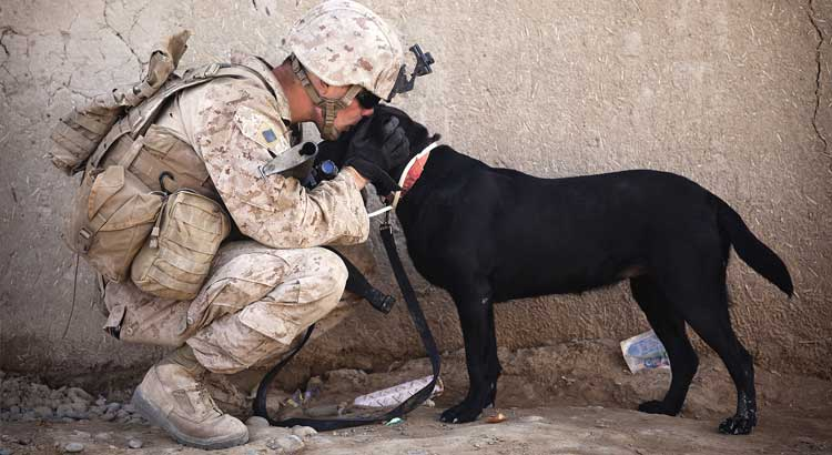 Military Service Labrador being kissed by desert soldier