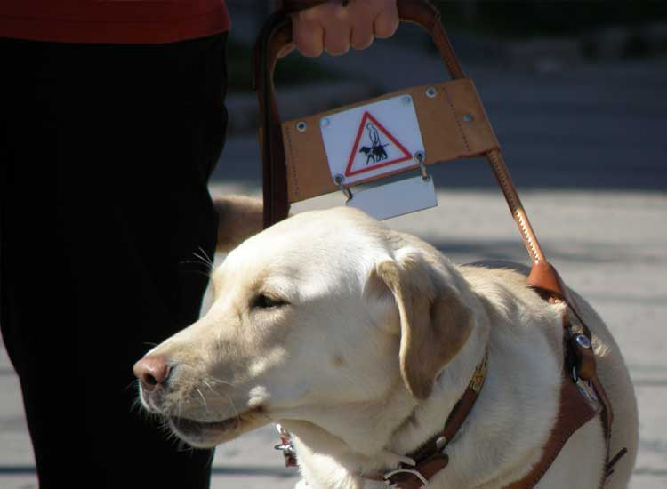 Seeing-Eye Labrador guiding a person across the street