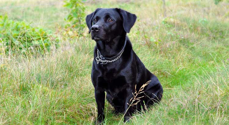 Black Labrador sitting in a grass field