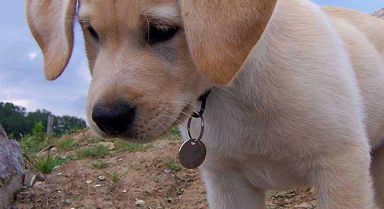 Close-up of Yellow Lab with ID tag
