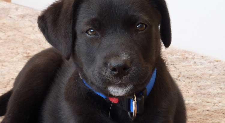 Close-up of Black Labrador puppy with blue collar