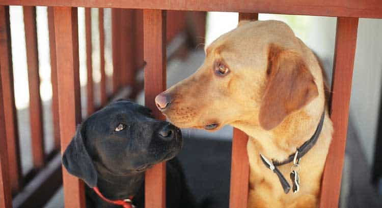 Black labrador puppy and larger yellow lab behind a wooden doggie fence
