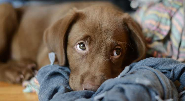 Cute chocolate Lab on a blue blanket