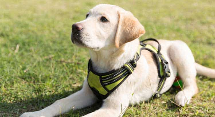 Yellow Labrador lying on grass wearing a green harness