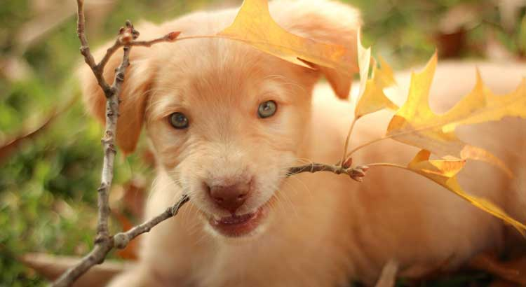 Yellow Labrador puppy chewing on a plant