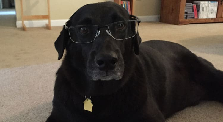 Black Labrador wearing glasses