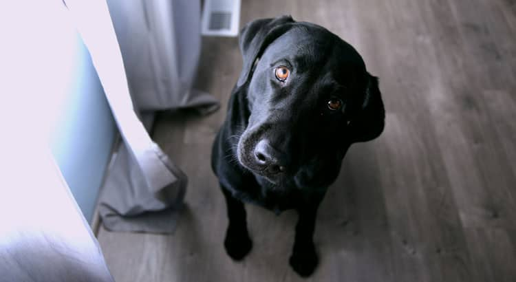 Why Black Labs Make Excellent Apartment Dogs