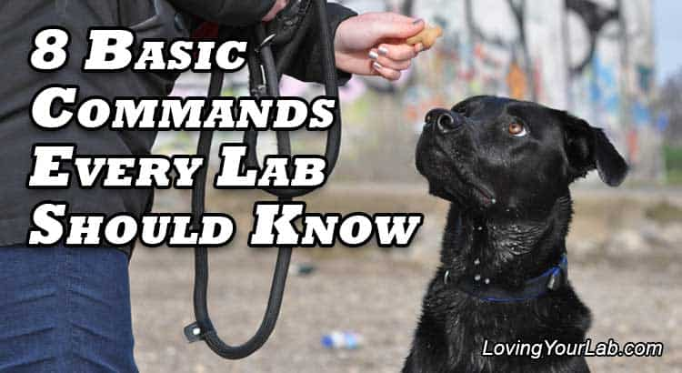 Labrador looking at its owner's treat next to the text, 8 Basic Command Every Lab Should Know