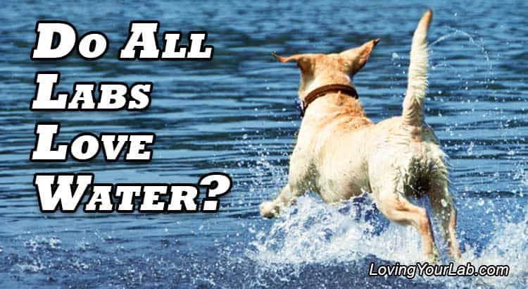 Yellow Labrador splashing in the water next to the text, Do All Labs Love Water?