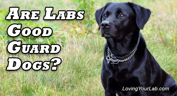 Labrador watching vigilantly with title, Do Labradors Make Good Guard Dogs?