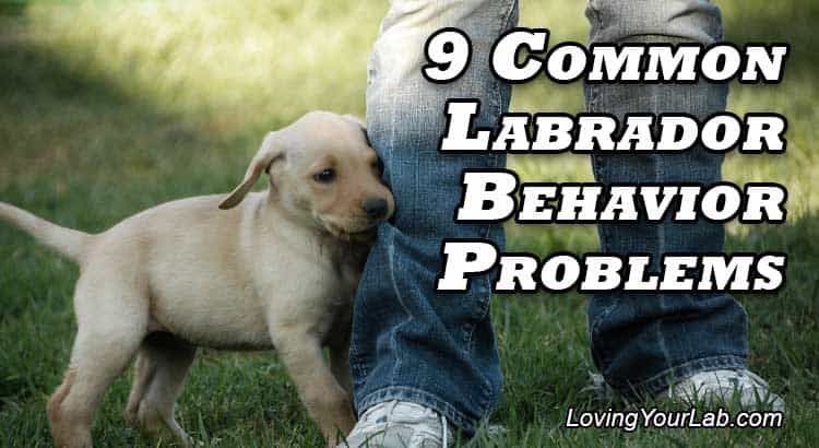 Puppy nipping on man's pant leg next to the title text, 9 Common Labrador Behavior Problems