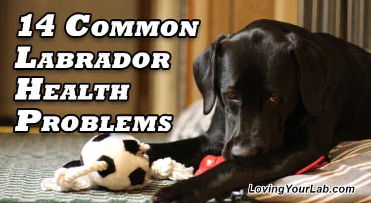 Black Labrador lying on the floor with toy next to the title text 14 Common Labrador Health Problems
