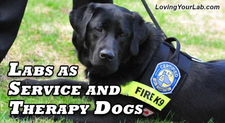 Black Labrador K9 Fire service dog with fireman next to the title text Labradors as Service and Therapy Dogs