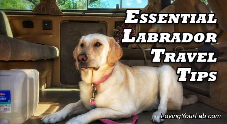 Yellow lab in camper next to the title, Essential Labrador Travel Tips