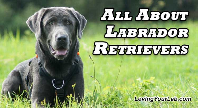 Black Labrador laying in a green field next to the title All About Labrador Retrievers