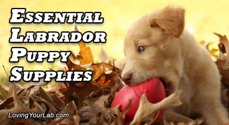 Cute yellow Labrador in a pile of leaves playing with a red football next to the title Essential Labrador Puppy Supplies