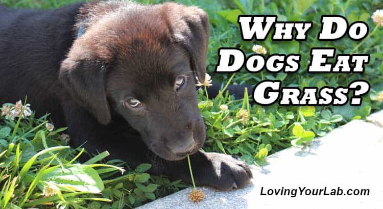 Labrador puppy eating grass next to title text Why Do Dogs Eat Grass?