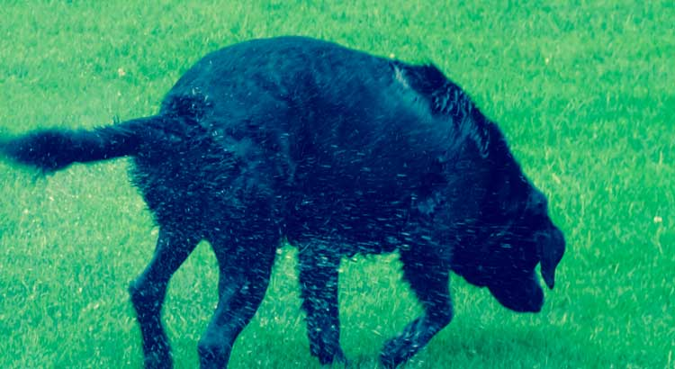 Labrador acting nervious on grass appearing about to vomit