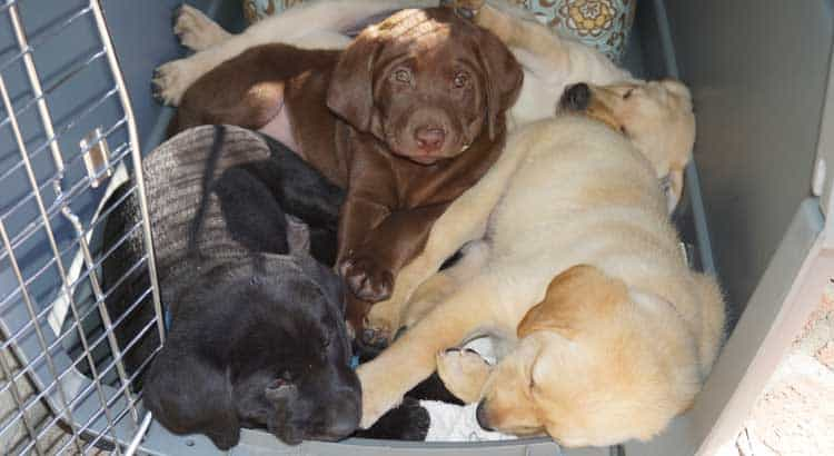 Black, Yellow, and Chocolate Labrador puppoes sleeping in crate together