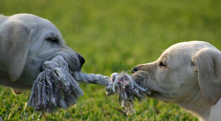 Two yellow Labrador puppies playing tug-of-war with rope chew toy