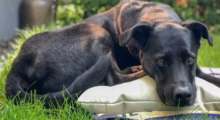 Labrador appearing stressed outside laying on pillow