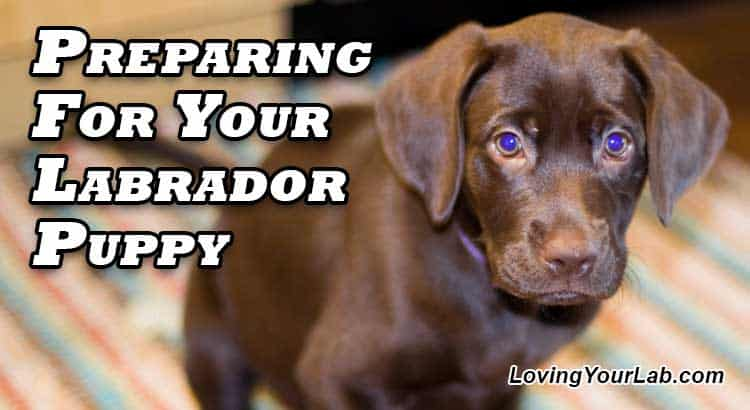 Chocolate Labrador Puppy sitting on rug next to the title Preparing for Your Labrador Puppy