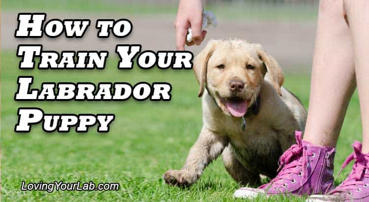 Yellow Labrador puppy being trained by young girl on the grass next to the title How To Train Your Labrador Puppy