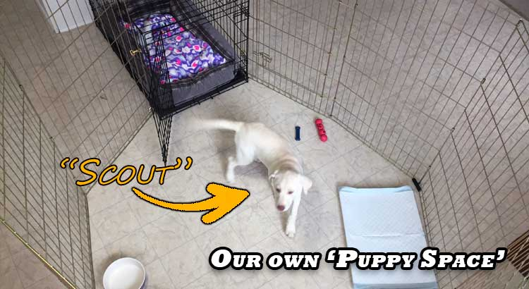 Yellow Labrador puppy in her play area