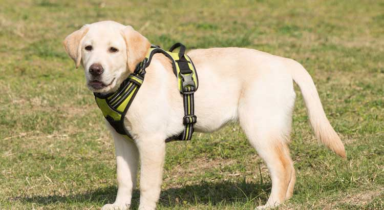Yellow Labrador standing on grass wearing a green harness