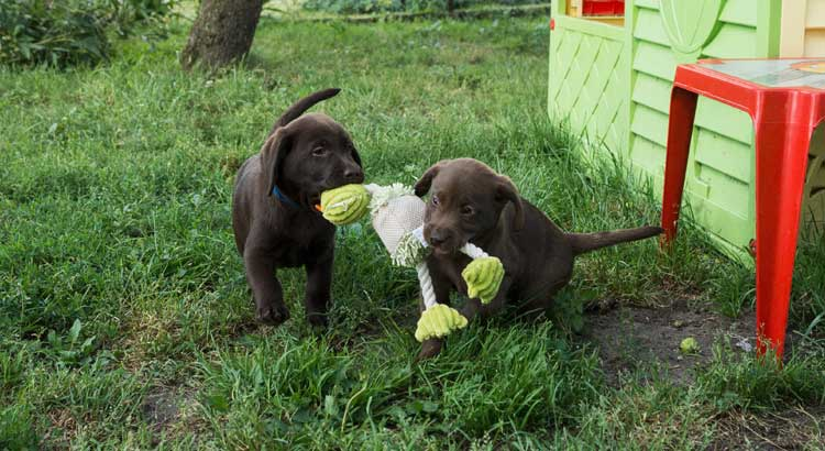 Two chocolate Labrador Puppies playing with a toy on the grass near a playhouse