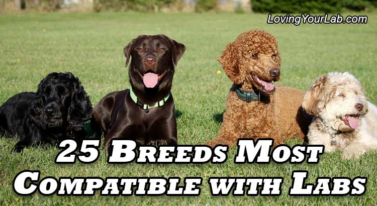 Multiple breeds sitting on grass with Labrador next to title 25 Breeds Most Compatible with Labradors.