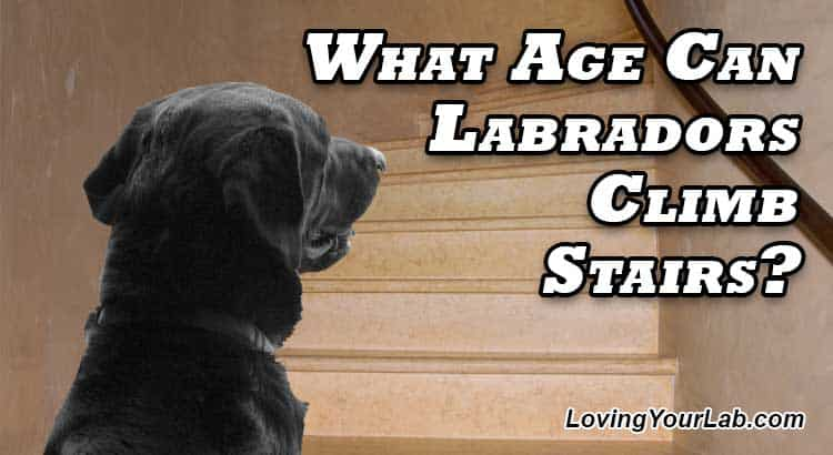Labrador looking up at a flight of stairs next to the title What Age Can Labradors Climb Stairs?