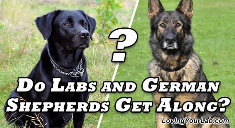 Labrador and German Shepherd facing each other over the title Do Labs and German Shepherds Get Along?