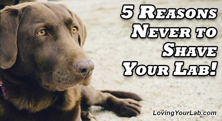 Never Shave Your Labrador! 5 Reasons Why - Loving Your Lab