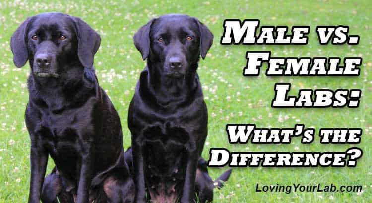 Two Labradors sitting on grass next to title Male vs. Female Labs: What's the Difference?