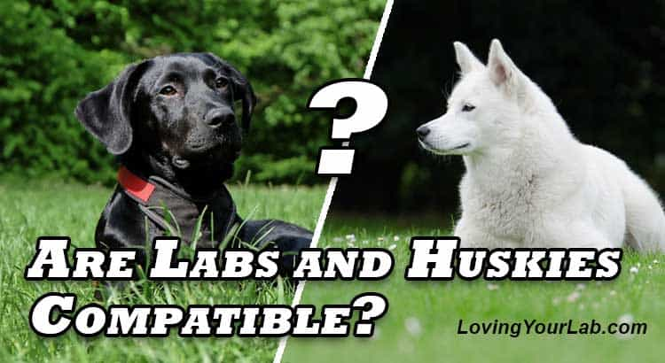 Labrador and German Shepherd facing each other over the title Do Labs and Huskies Get Along?