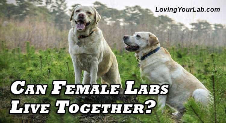 Two female Labradors sitting beside each other above the title Can Female Labs Live Together?