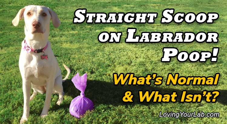 Yellow Lab Puppy next to a pink poop bag and the title Straight Scoop on Labrador Poop! - What's Normal & What Isn't?