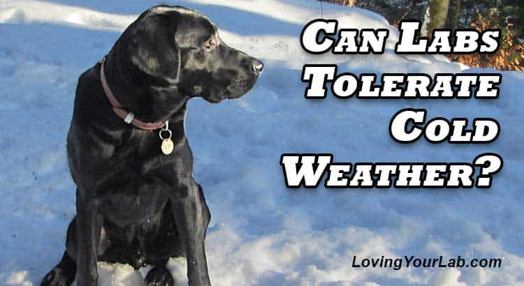 Black Labrador sitting in the snow next to the title Can Labradors Tolerate Cold Weather?