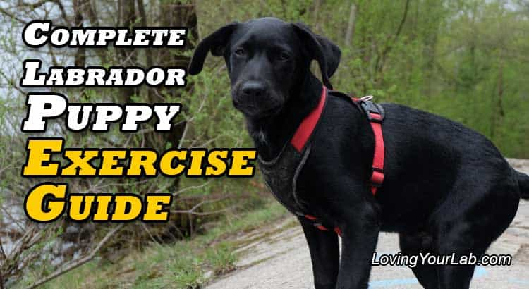 Black Labrador puppy wearing a red harness standing outside next to the title Complete Labrador Puppy Exercise Guide