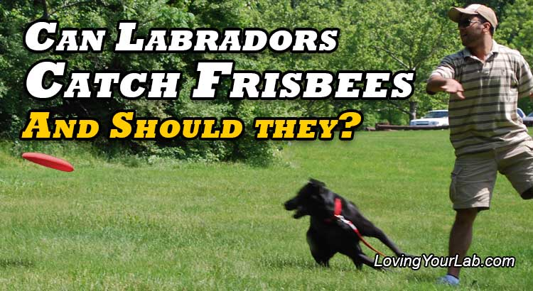 Black Labrador playing catch in the park with a red Frisbee under the title Can Labradors Catch Frisbees, and should They?
