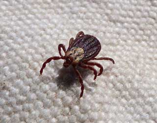 Tick crawling on upholstery